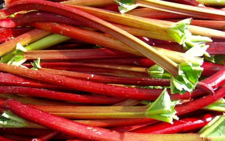 Brilliant red rhubarb from Stoney Plains Farm. Photo copyright 2009 by Zachary D. Lyons.