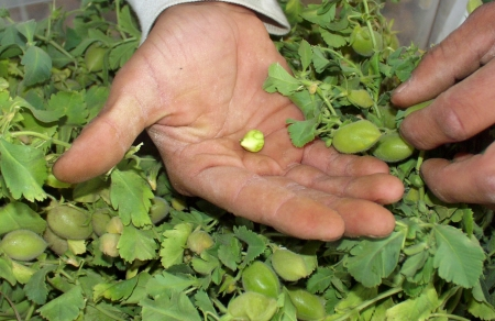 Fresh chickpeas from Alvarez on July 8th. Photo copyright 2009 by Zachary D. Lyons.