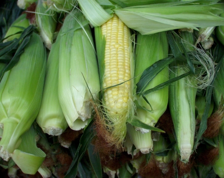 Organic sweet corn from Alvarez at the Wallingford Farmers Market on July 15th. Photo copyright 2009 by Zachary D. Lyons.