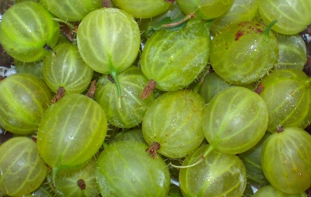 Gooseberries from Full Circle Farm. Photo copyright 2009 by Zachary D. Lyons.