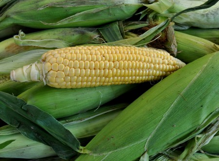 Sweet corn from Alm Hill Gardens at Wallingford Farmers Market. Copyright Zachary D. Lyons.