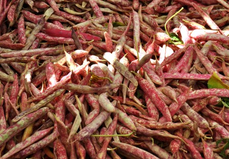 Cranberry shelling beans from Alm Hill Gardens. Photo copyright 2013 by Zachary D. Lyons.