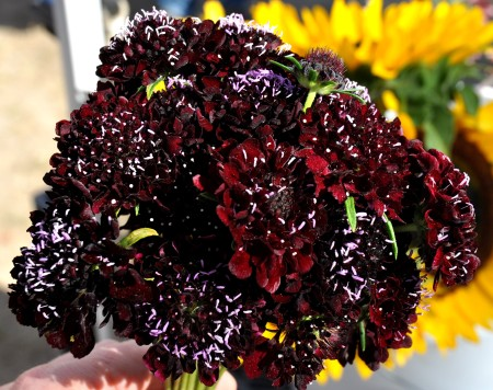 Black Knight Pincushion flowers from Kirsop Farm. Photo copyright 2013 by Zachary D. Lyons.