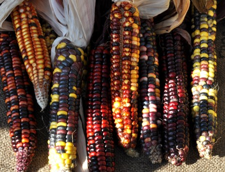 Heirloom Painted Mountain corn from City Grown Farm. Photo copyright 2013 by Zachary D. Lyons.