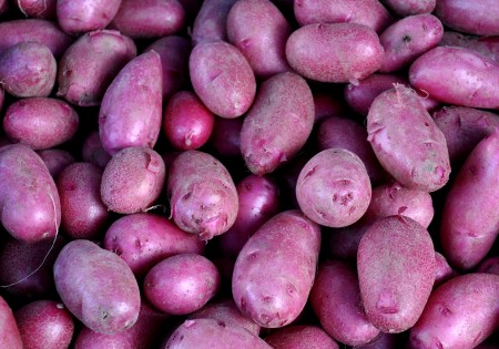 Red thumb new potatoes from Alvarez Organic Farms.. Photo copyright 2014 by Zachary D. Lyons.
