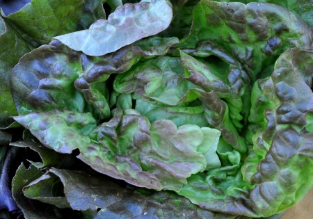 Butter lettuce from Around The Table Farm.. Photo copyright 2014 by Zachary D. Lyons.