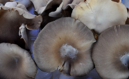 Oyster mushrooms from J&M Mushrooms. Photo copyright 2014 by Zachary D. Lyons.
