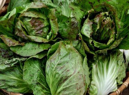 Variegato di Lusia radicchio from One Leaf Farm. Photo copyright 2014 by Zachary D. Lyons.