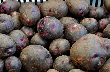 New Viking Purple potatoes from Olsen Farms. Photo copyright 2014 by Zachary D. Lyons.