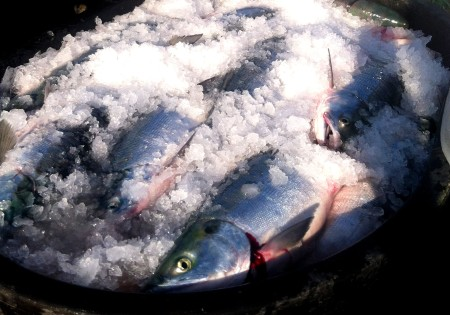 Salmon on ice in Bristol Bay, Alaska from Two If By Seafoods. Photo courtesy Two If By Seafoods.